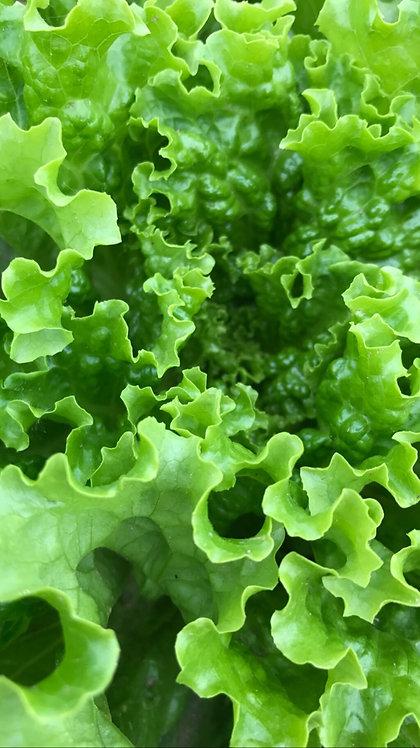 Lettuce - Green Star