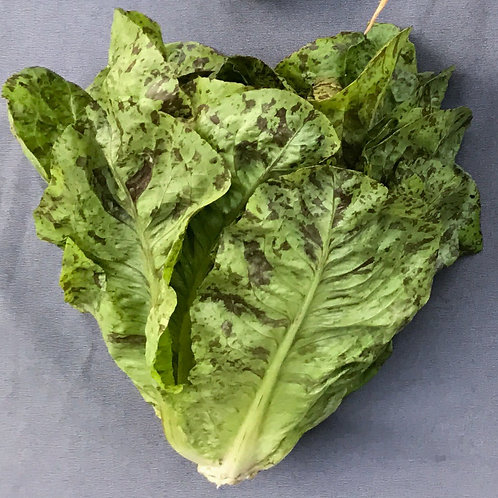 Speckled Romaine