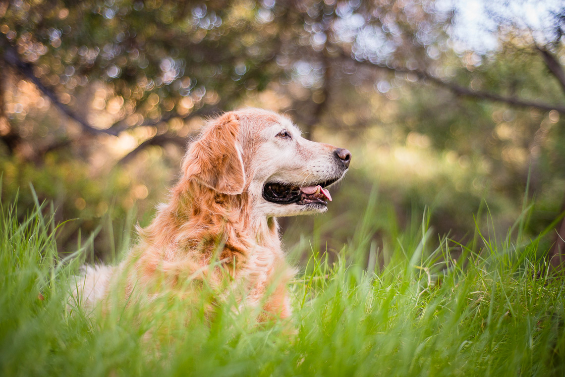 Westway-Studio-Golden-Retriever-Penasquitos-Canyon-Dog-Portrait-071