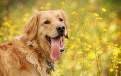 122951-animals-tongues-yellow_flowers-dog-golden_retrievers