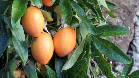Fruits de Passiflores