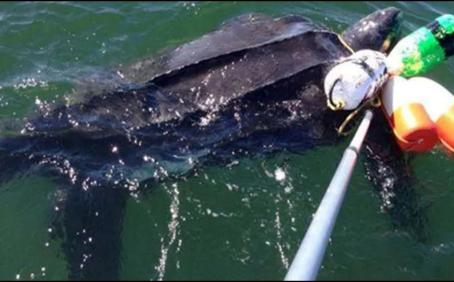 CFF teams with research partners to tag and monitor endangered leatherback turtles