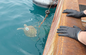 Sea Turtle out of the net  Kathy Ann 5.2