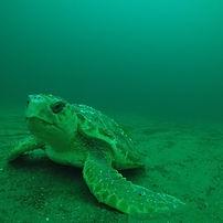 Closeup of loggerhead sea turtle at bottomof the seafloor using ROV underwater video camera