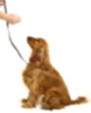 dogtraining_goldenret.png