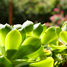 Succulent Leaves