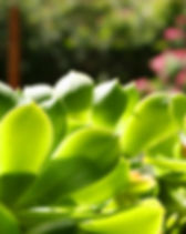 sukkulente Blätter