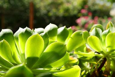 folhas suculentas
