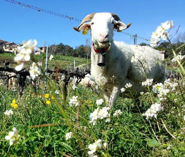 Domaine Terres d'Hachène Moutons Vignes