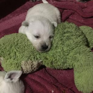 Dixie pup
