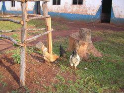Chapter 20 - chickens outside school