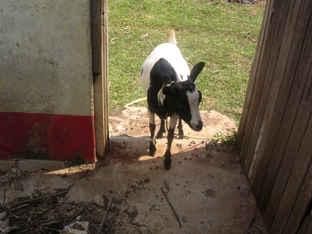Chapter 20 - goat walking in classroom