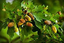 acorn-3706883_1280.jpg
