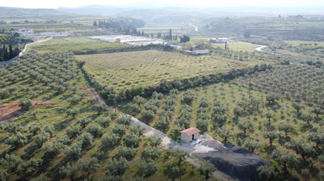 Olive grove 3_younger grove.png