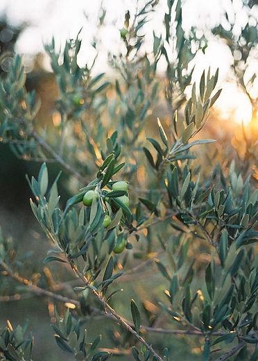 olives on a tree.jpg