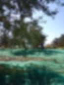 olive harvest on tourism day.jpg