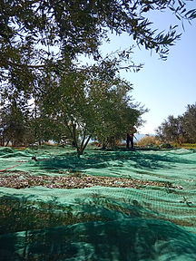olive harvest on tourism day.jpg