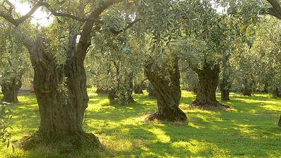 olive grove_1.jpg