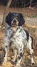 chiens-Epagneul-Breton-01009b6d-6b31-12b
