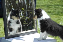 Collie hvalpe - Collie puppies