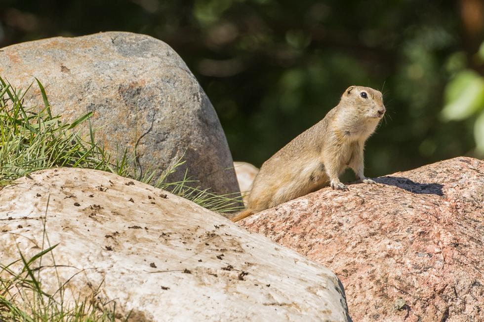 Richardson's ground squirrel