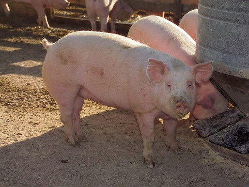 USDA Announces New Program to Provide Pandemic Assistance to Livestock Producers
