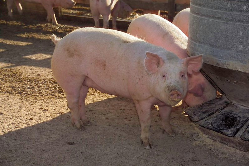 Image of a pig by the United Soybean Board
