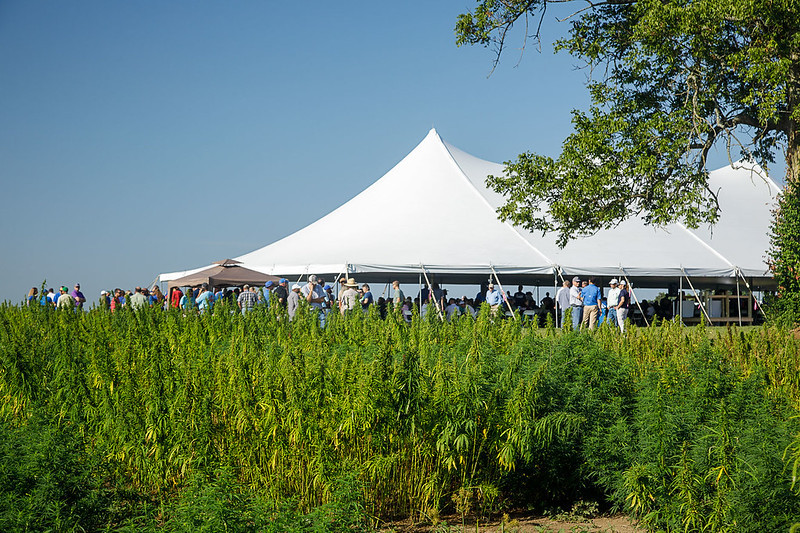 Hemp test plots with the University of Kentucky. Image by UK College of Agriculture.