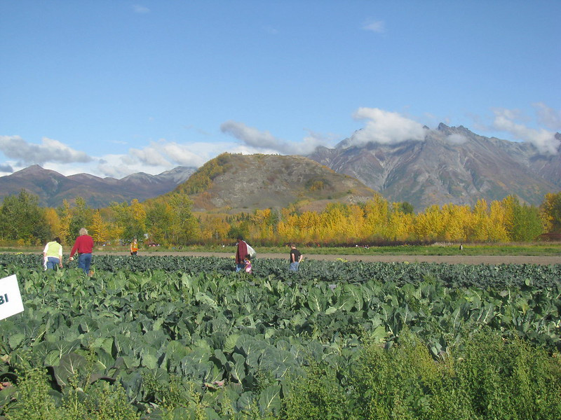 Cabbage field in Alaska with people out working in the fields and mountains in the background.  Image by Sarah Hurst via flickr.com