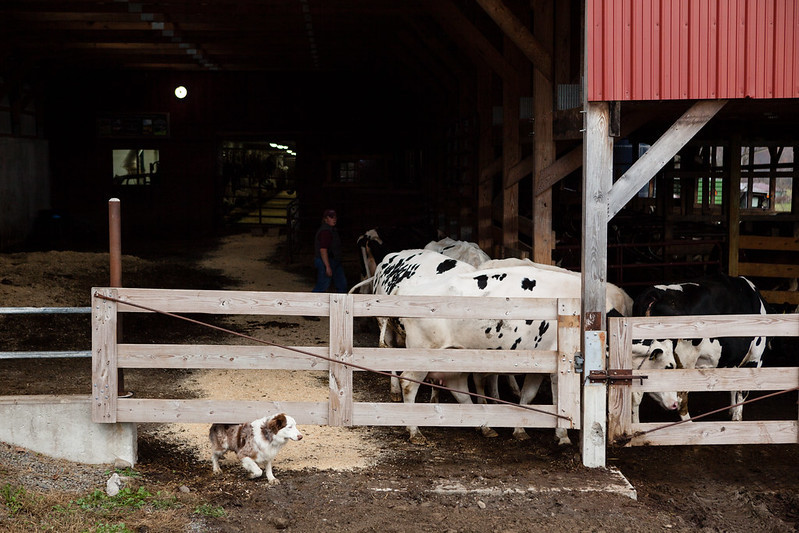 Farm dog running under gate with cattle in background. Image by Chesapeake Bay Program