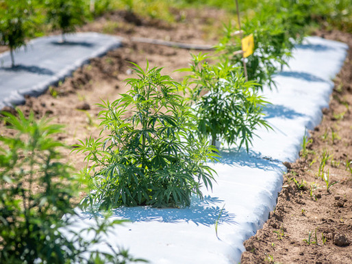 0.3 percent of what?  Pay attention to changes in the new state hemp production plan