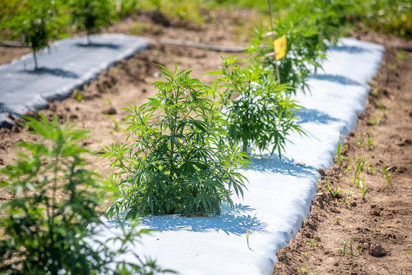 Hemp being grown for research at the Wye Research and Education Center. Image by Edwin Remsberg.