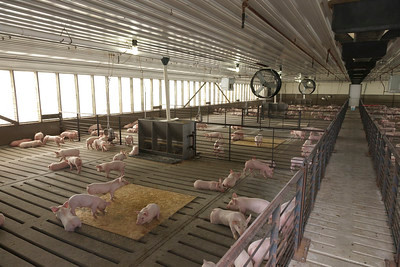 Hogs in confined operation by United Soybean Board