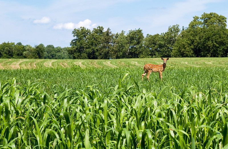 A deer passes through a corn field at Mount Harmon Plantation in Earleville, Cecil County, Md., on Aug. 24, 2011. (Photo by Matt Rath/Chesapeake Bay Program)