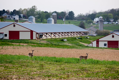 Poultry houses with deer.  Image by Chesapeake Bay Program