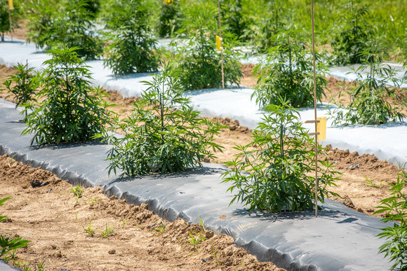 Hemp being grown at the Wye by Edwin Remsberg