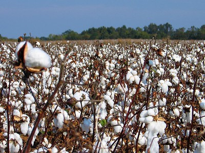Image of cotton field by dusted