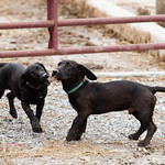 Image of two farm puppies playing. Image by Chesapeake Bay Program.
