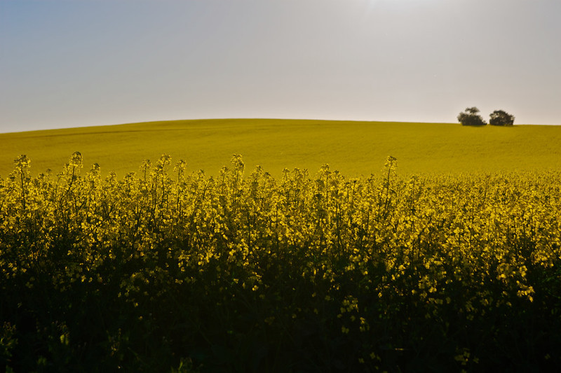 Picture of a canola field in New South Wales. The image is by Brian Yap.