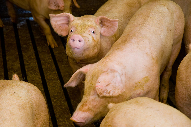 Image of piglet in barn. Image by United Soybean Board