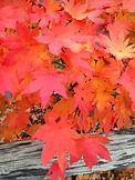 fall leaves copy.jpg