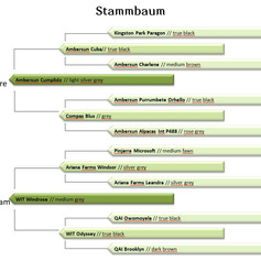 OLD Rosenkavalier Stammbaum