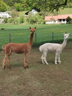 Leonardi und Medo passen auf die Herde auf.