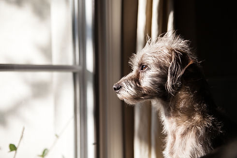 Cute little terrier crossbreed dog looking out a window with morning light illuminating hi