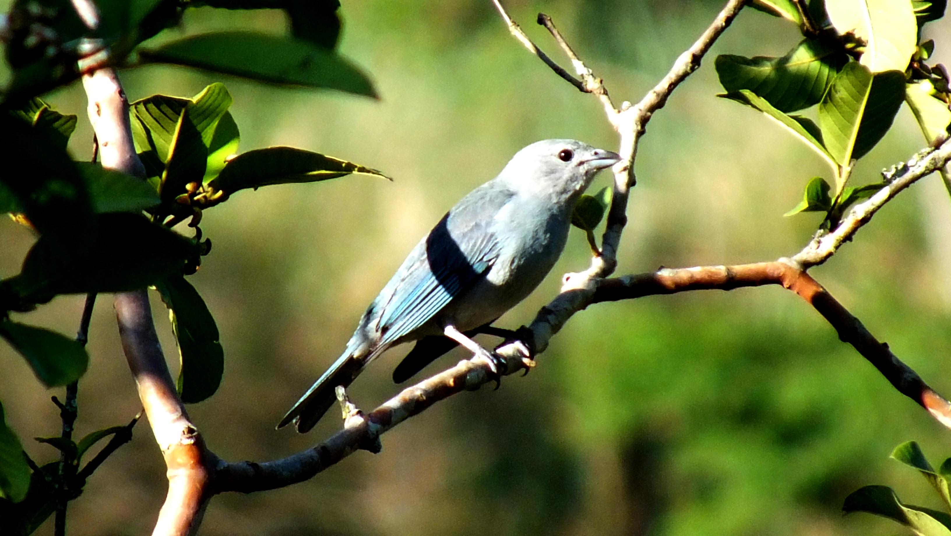 Sanhaço-azul