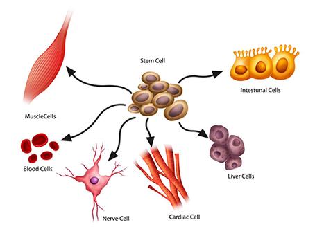 ¿Qué son las células madres?
