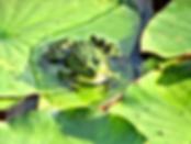 A Frog's Biblical Symbol