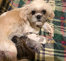BREE with her 4 Shih Tzu puppies