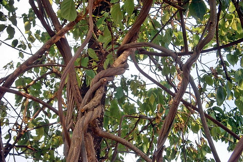 Banisteriopsis-caapi-também-conhecido-co