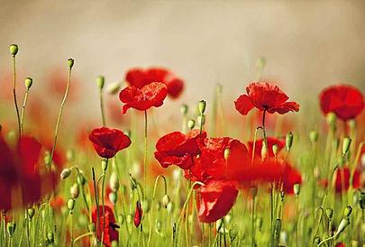 g-flowersandplants-poppies-april15-p138-